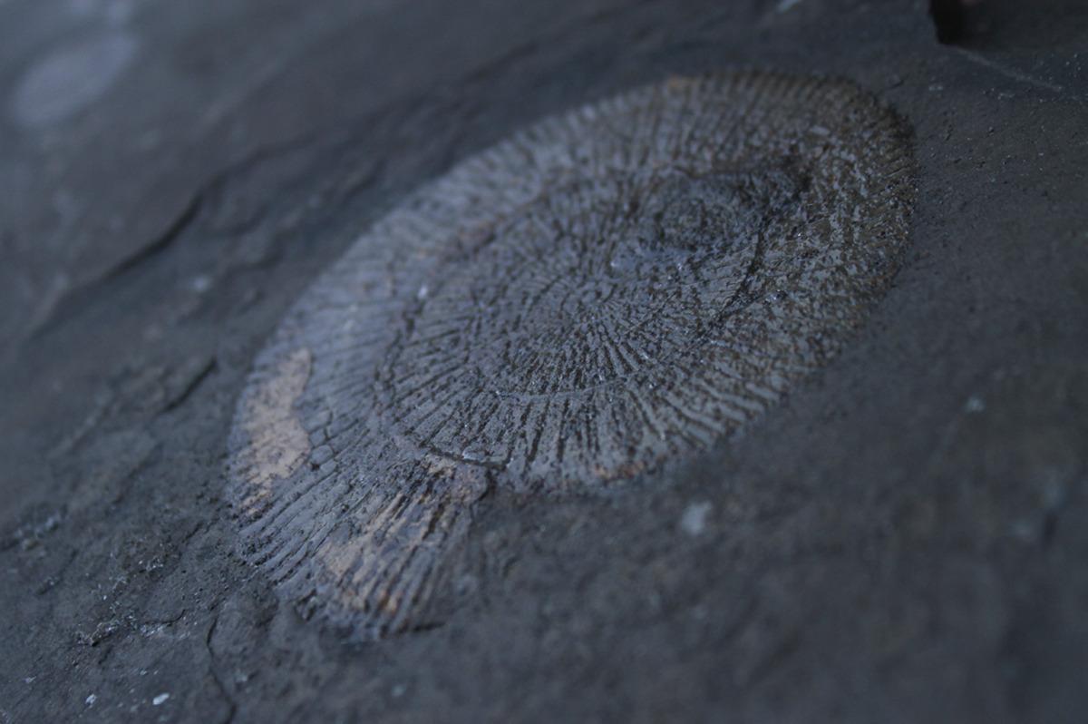versteinertes Ammonit