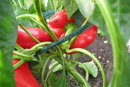 Paprikapflanze im Garten